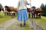 Woman bringing cattle down from mountain pastures