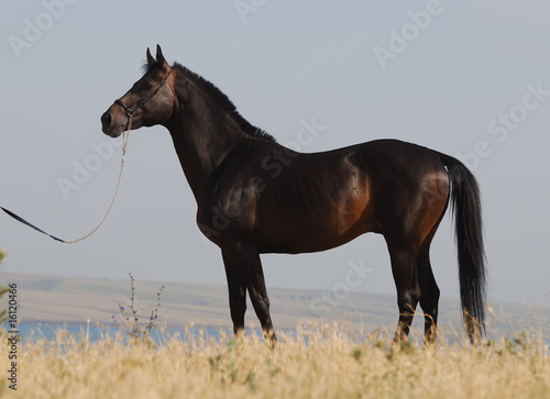 Exterior of dark brown trakehner horse