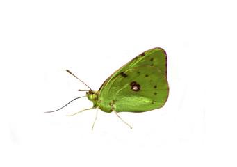 papillon détouré vert