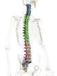Columna vertebralis