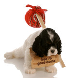 orphaned puppy - cocker spaniel puppy looking for new home poster