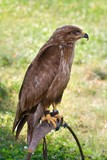 predator on falconer stand poster
