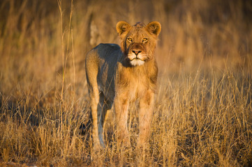 A young Male lion appears through the grass