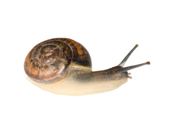isolated brown snail