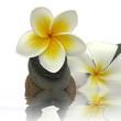 fleurs de frangipanier sur galets