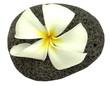 fleur de frangipanier sur galet de basalte alvéolé
