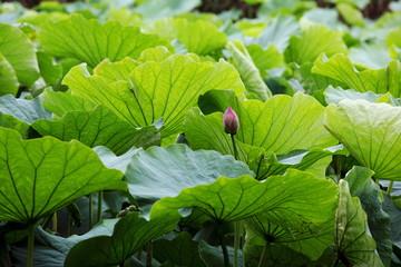 lotus flower / 蓮花 東京・上野・不忍池
