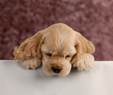 cocker spaniel puppy with paws over white foreground.. poster