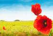 champs de coquelicots sur fond de ciel bleu - nature