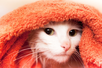 white cat wraped up in a towel