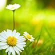 nature au printemps, fleurs pâquerettes - daisy flowers