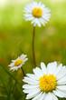 daisy flower, paquerettes sur un fond de pelouse verte