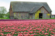 Old barn in the field of Red Tulips