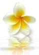 reflets de fleur de frangipanier