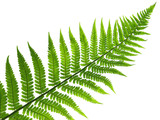 leaf of fern
