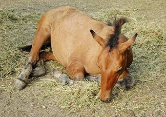 baby horse sleep