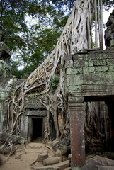 Frangipanier du Cambodge sur le mur d'un temple d'Angkor