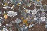Weathered stone with yellow fungus. Abstract background. poster