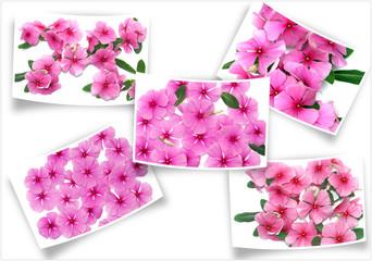 fleurs roses de penvenches sur des photos courbes