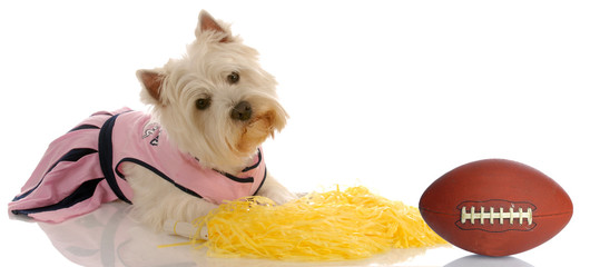 sports hound - westie dressed as a cheerleader