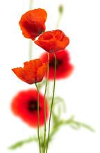Maki na białym - czerwony mak, kwiatowy wzór