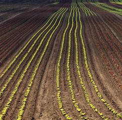 Reihen von jungen, roten und grünen Salatpflanzen