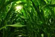 canvas print picture - Corn Field