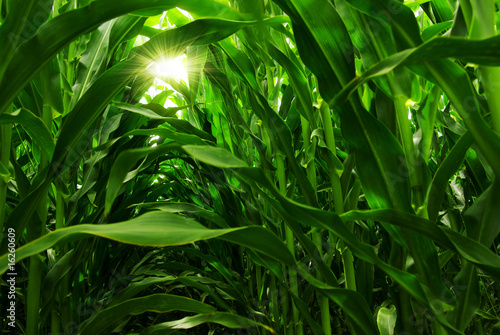 Canvas Cultuur Corn Field