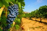Fototapety Grappolo d'uva