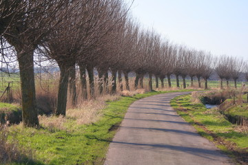 Line of pollard willows