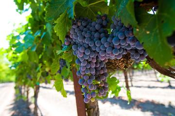 Red Wine Grape Cluster