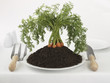 Close up of carrots growing in dirt on plate