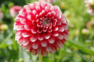 Einmalig, Blume