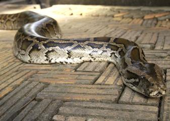 burmese python on walkway, thailand
