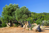 Olive trees growing in ruins of Sanctuary of Poseidon poster