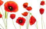 red poppies over white background - floral design element