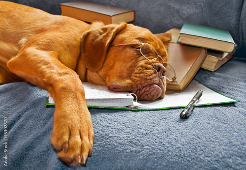 Fototapety, obrazy : Dog Sleeping after Studying