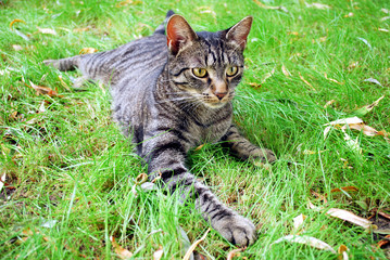 tabby cat lying on the grass