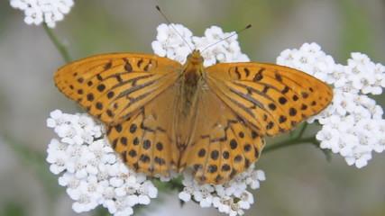 farfalla arancione 1