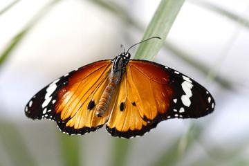Danaus chrysippus - Plain Tiger 9