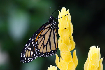 Danaus plexippus - Monarch butterfly 2