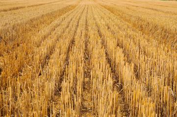 Getreidefeld abgeerntet