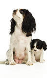 King Charles Spaniel dog on a white background with a puppy