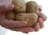 Kartoffel - Mann zeigt Kartoffeln - Man is showing potatoes