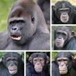 Gorille et Chimpanzés