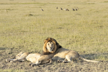 Pairs of lions resting after plentiful  feeding
