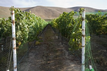 Vineyard in Santa Maria, California