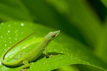 gecko en una hoja