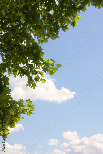 Maple leaves against a background of the sky