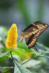 Papilio thoas - (Thoas Swallowtail) 07